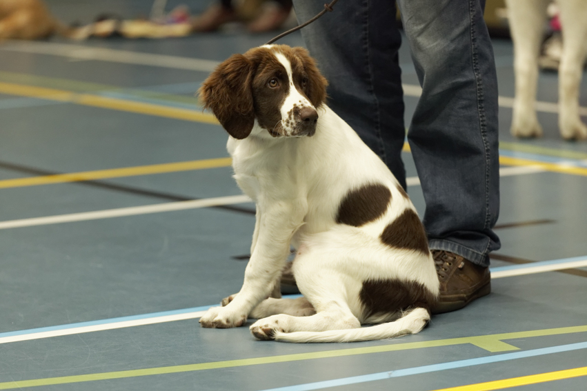 Drentsche Patrijshond puppy