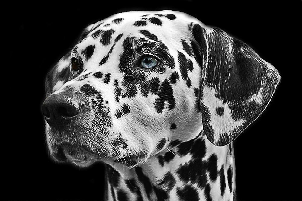 Dalmatische hond