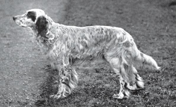 1900 Engelse Setter
