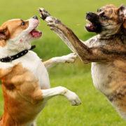 Vechtende honden